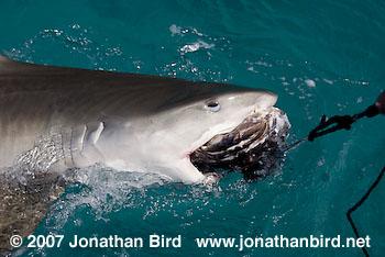 tiger sharks eating turtle