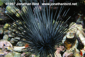 Long Spined Sea urchin [Diadema antillarum]