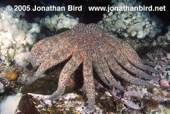 Sunflower Sea star [Pycnopodia helianthoides]