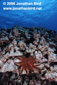 Crown of Thorns Sea star [Acanthaster planci]