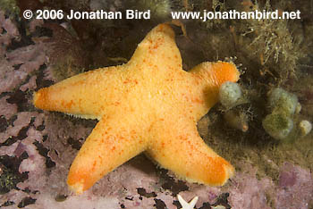 Winged Sea star [Pteraster militaris]